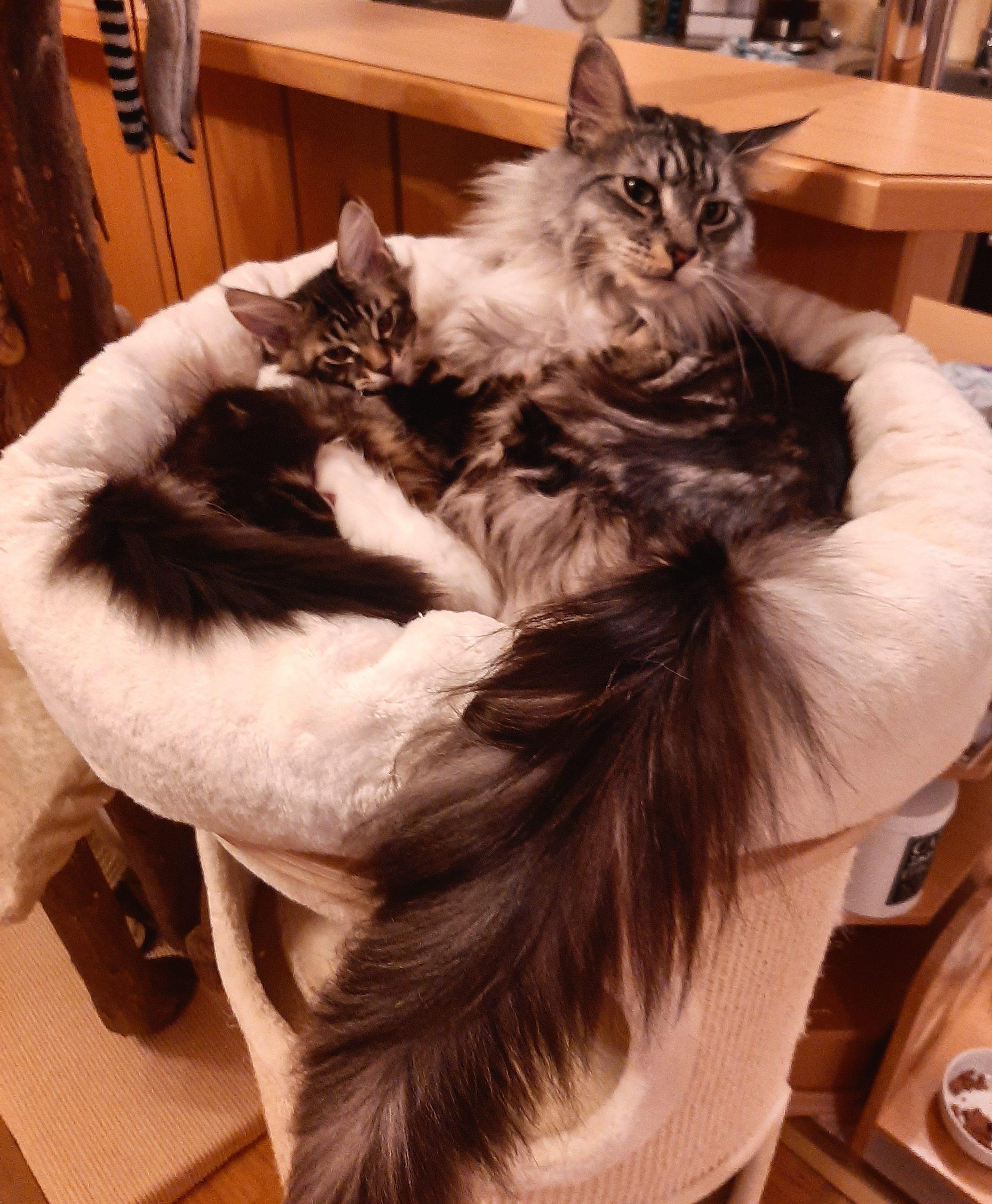Ein Katzenbaby zieht ein – Gute Vorbereitung auf eine Zusammenführung